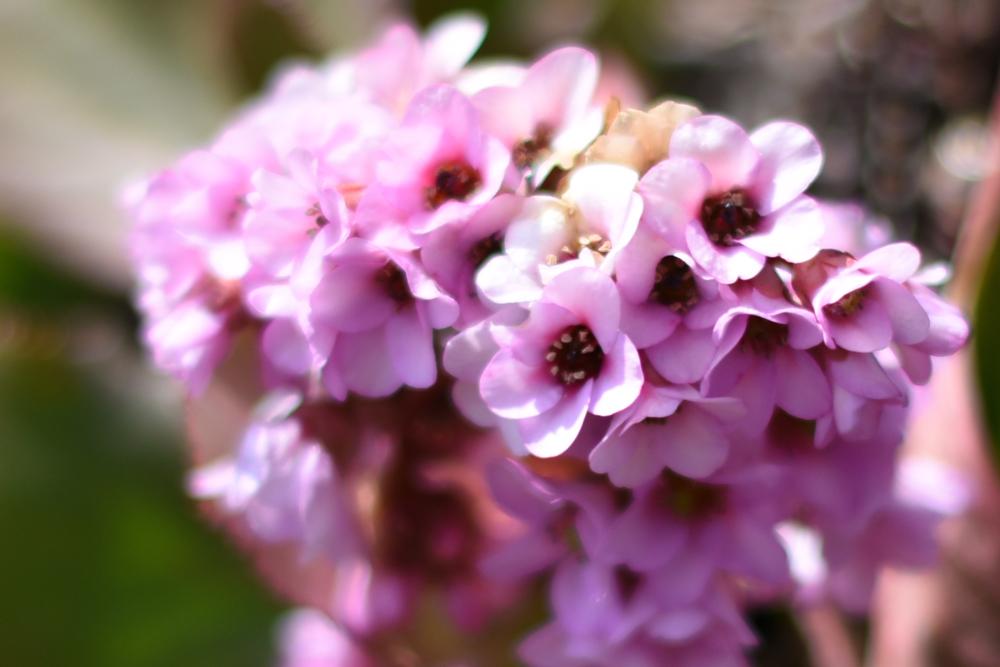 20170318ヒマラヤユキノシタの花 (2)