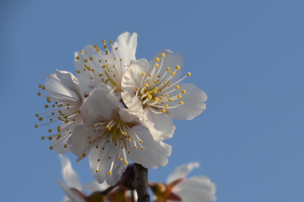 20170319セイヨウミザクラ(西洋実桜)の花が満開です (1)