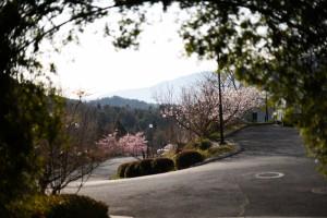 20170319セイヨウミザクラ(西洋実桜)の花が満開です (2)