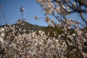20170319セイヨウミザクラ(西洋実桜)の花が満開です (3)