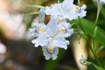 20170501シャガ射干Iris japonica4~5月