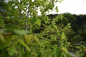 20170508キモクレン(黄木蓮)の花 (3)