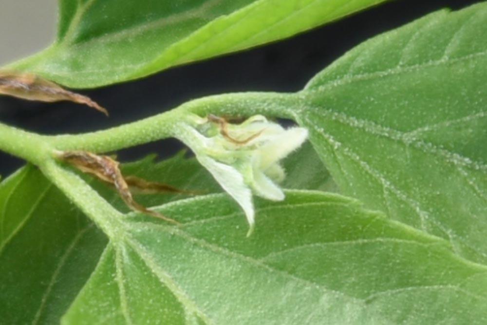 20170508ムクノキ(椋の木)の花(雌花) (4)
