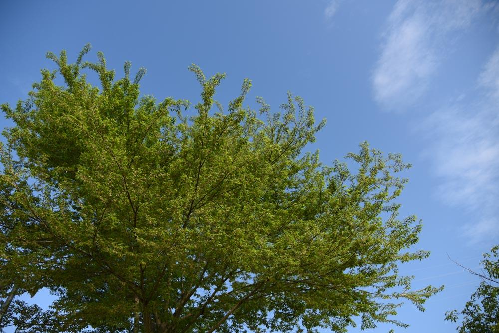 20170508ムクノキ(椋の木)の花 (1)