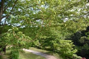 20170508ムクノキ(椋の木)の花 (3)