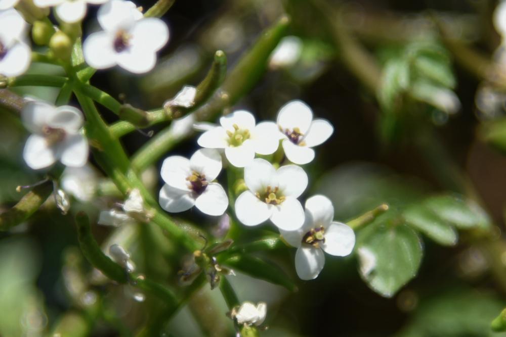 20170519オランダガラシ(和蘭辛子) の花 (1)