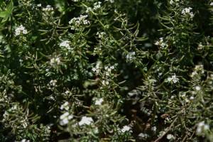 20170519オランダガラシ(和蘭辛子) の花 (3)