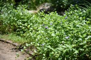 20170520ツルニチニチソウ(蔓日々草)の花 (2)