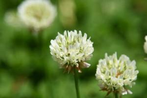 20170521シロツメクサ(白詰草)の花 (2)
