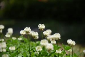 20170521シロツメクサ(白詰草)の花 (3)