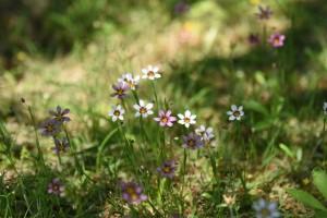 20170521ニニワゼキショウ(庭石菖)の花 (1)
