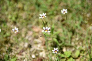 20170521ニニワゼキショウ(庭石菖)の花 (2)