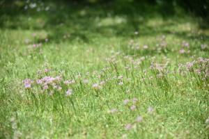 20170521ニニワゼキショウ(庭石菖)の花 (3)