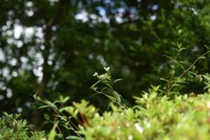 20170528コガクウツギ(小額空木)の花 (1)