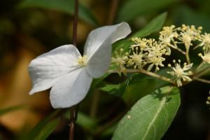 20170528コガクウツギ(小額空木)の花 (2)