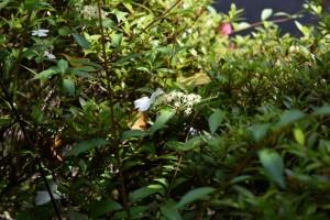 20170528コガクウツギ(小額空木)の花 (3)
