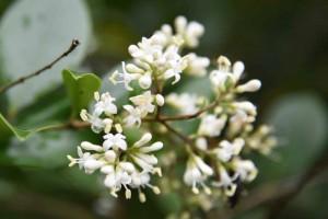 20170625ネズミモチ(鼠黐、Ligustrum japonicum)の花 (1)