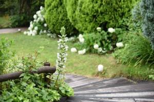 20170626アカンサス(Acanthus、ハアザミ、葉薊)の花 (2)