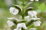 20170626アカンサス(Acanthus、ハアザミ、葉薊)の花 (3)