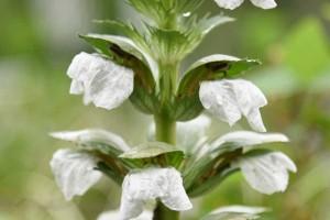 アカンサス・モリス(ハアザミ) 葉薊  Acanthus mollis 6〜7月