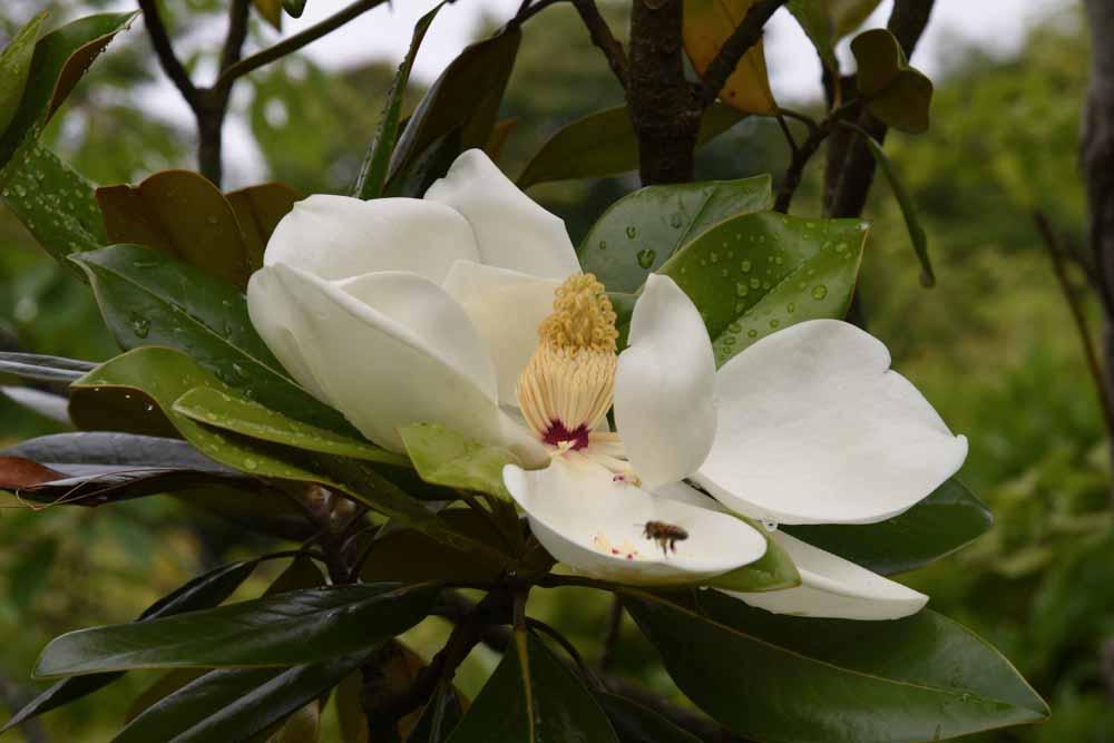 タイサンボク 泰山木 Magnolia grandiflora 6〜7月