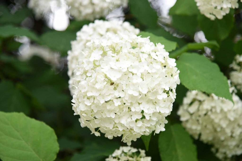 アメリカノリノキ(アジサイ) 'アナベル' 紫陽花 '西洋紫陽花' Hydrangea arborescens 'Annabelle' 6~7月