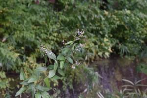 20171012アレチヌスビトハギ(荒地盗人萩)の花と種 (2)