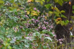 20171012ハギ(萩)の花が盛りです (3)