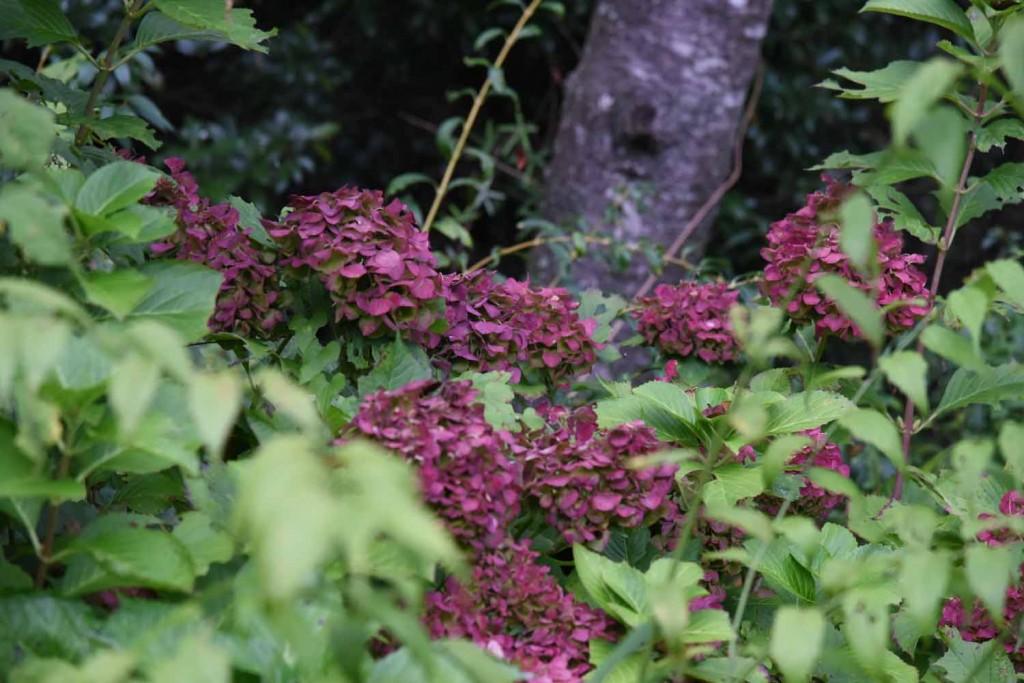 20171013赤みを増したアジサイ(紫陽花)の装飾花 (1)