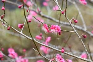 20180311梅の花カゴシマコウ