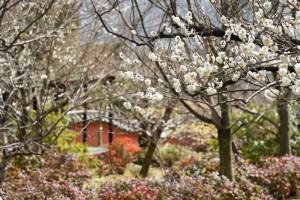 20180311梅の花