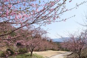 20180315 カワヅザクラが三分咲き2