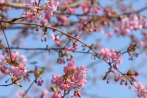 20180315 カワヅザクラが三分咲き3