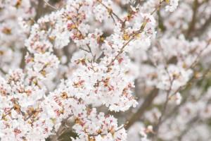 201803230桜の花がほぼ満開 (1)