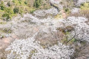 201803230桜の花がほぼ満開 (2)