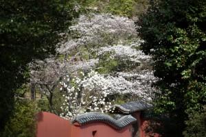 201803230桜の花がほぼ満開 (3)