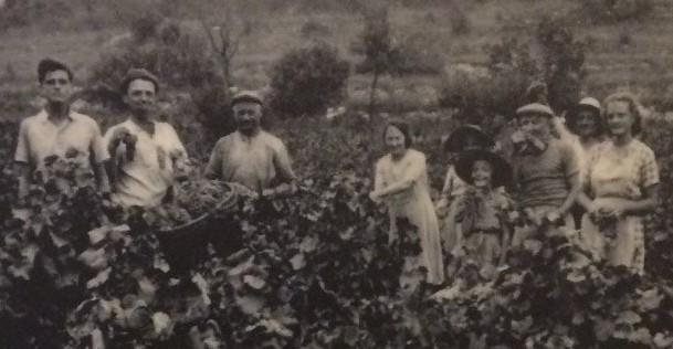 ブドウ摘み