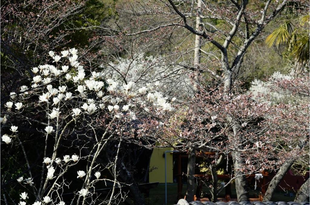20200326ハクモクレン(白木蓮)の花が満開です! 2